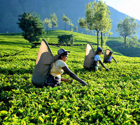 Tea Plantations and Factories